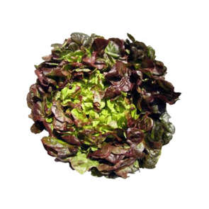 Salade feuille chêne brune - Cat. 1